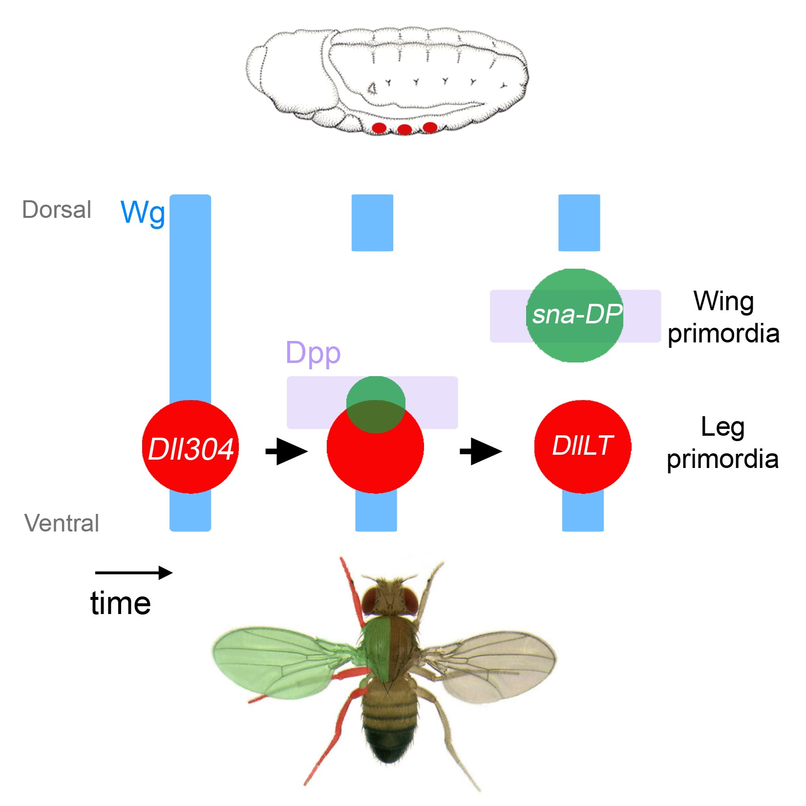 Where did insect wings come from?