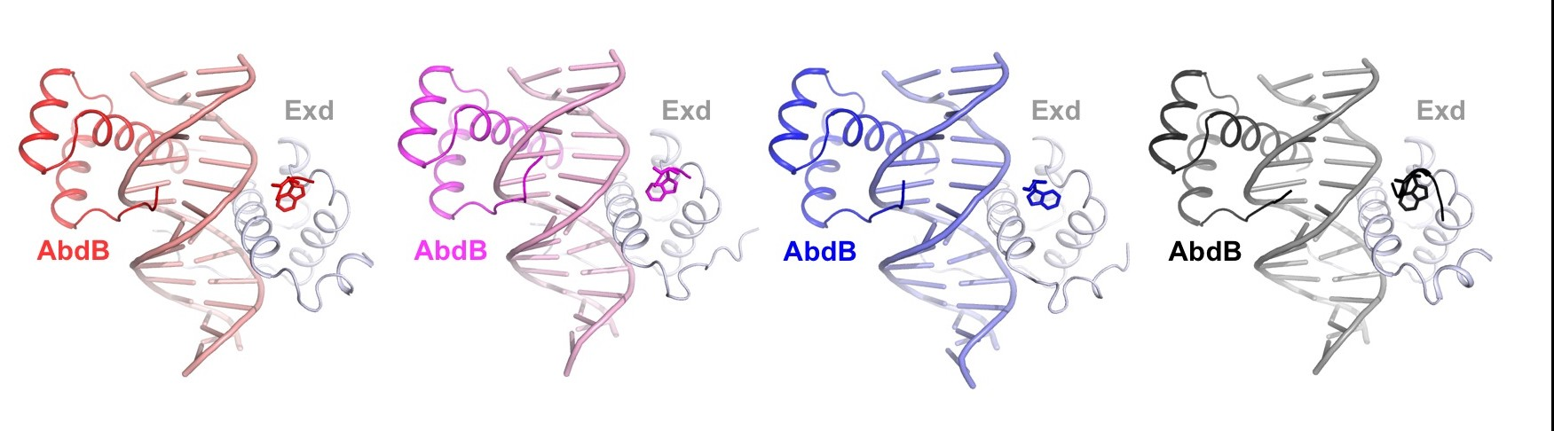 Four x-ray structures of AbdB-Exd bound to four different binding sites